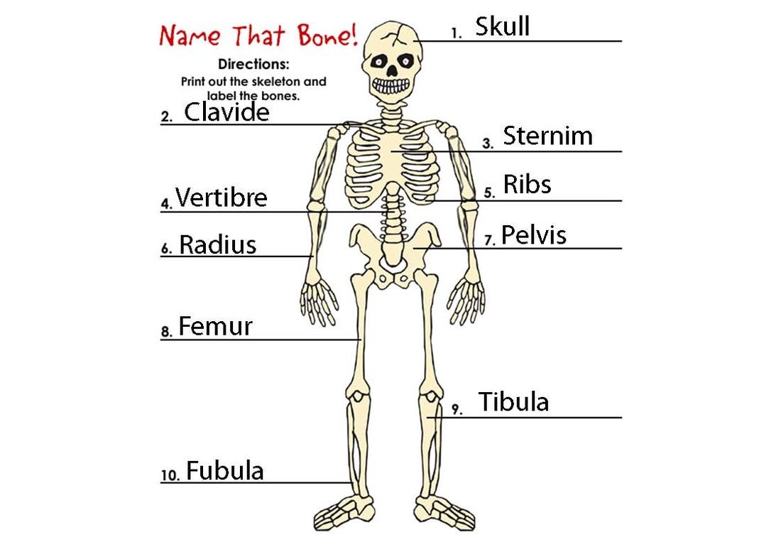 Ruby Strachan Science Skeletal System
